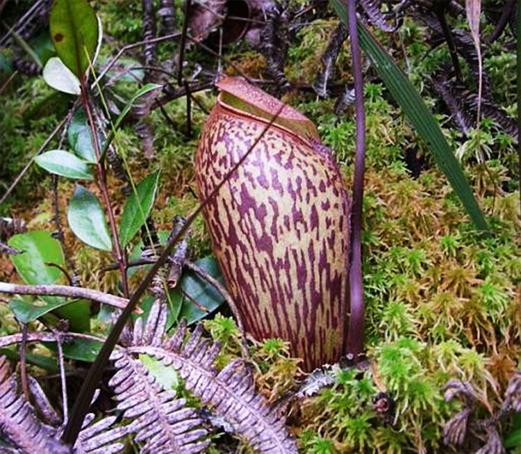 Nepenthes am Naturstandort